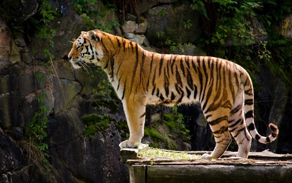 Tiger Photography (36)