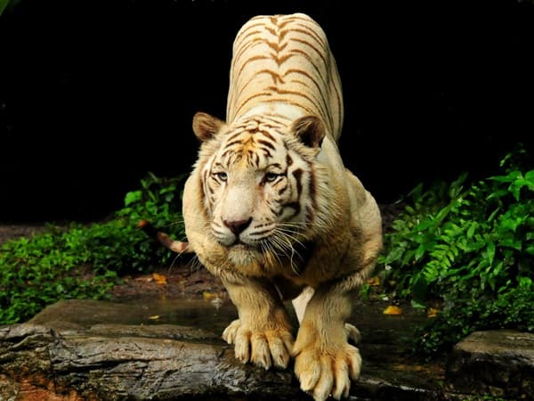 Tiger Photography (37)
