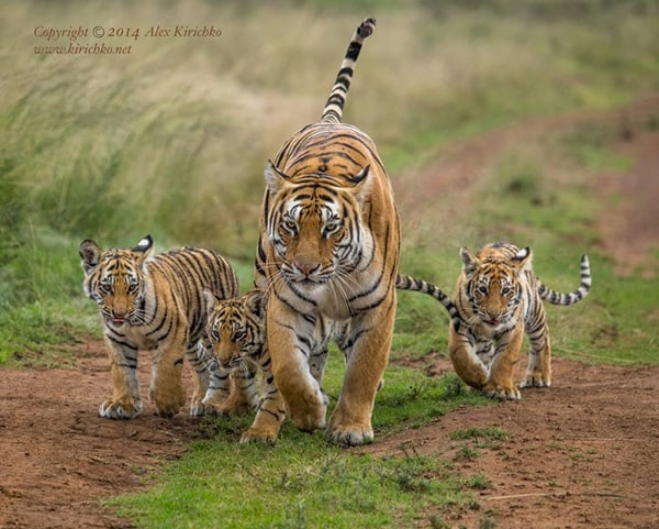 Tiger Photography (38)