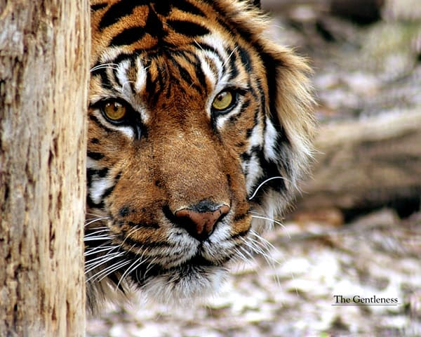 Tiger Photography (39)