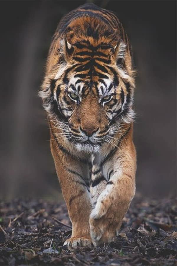 Tiger Photography (4)