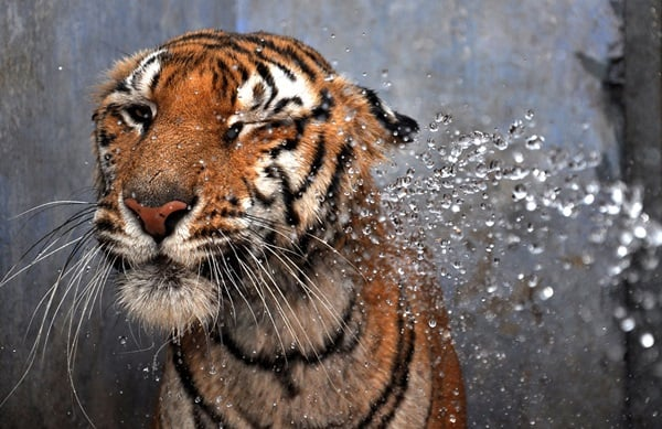 Tiger Photography (41)