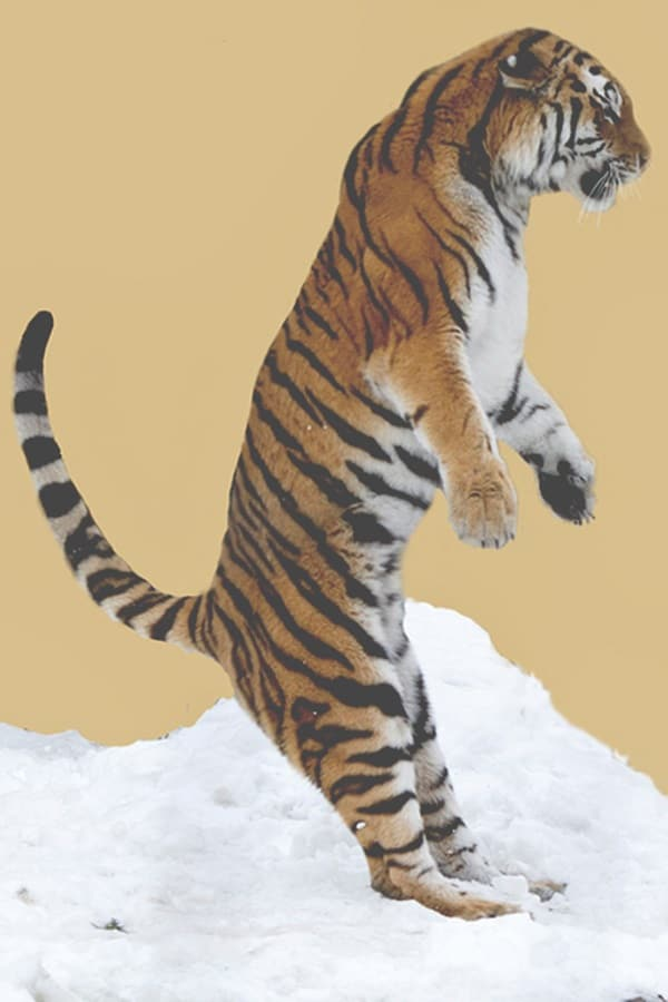 Tiger Photography (43)