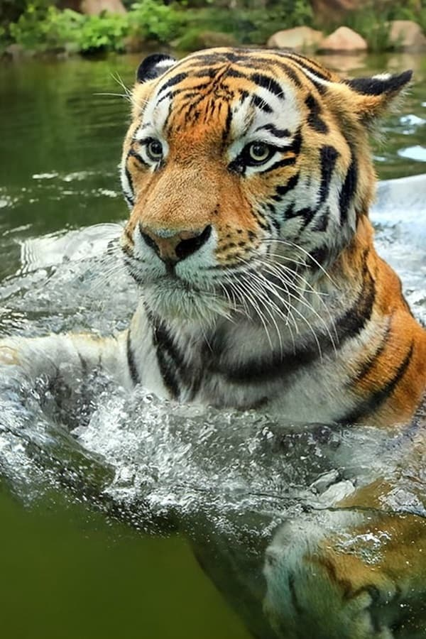 Tiger Photography (44)