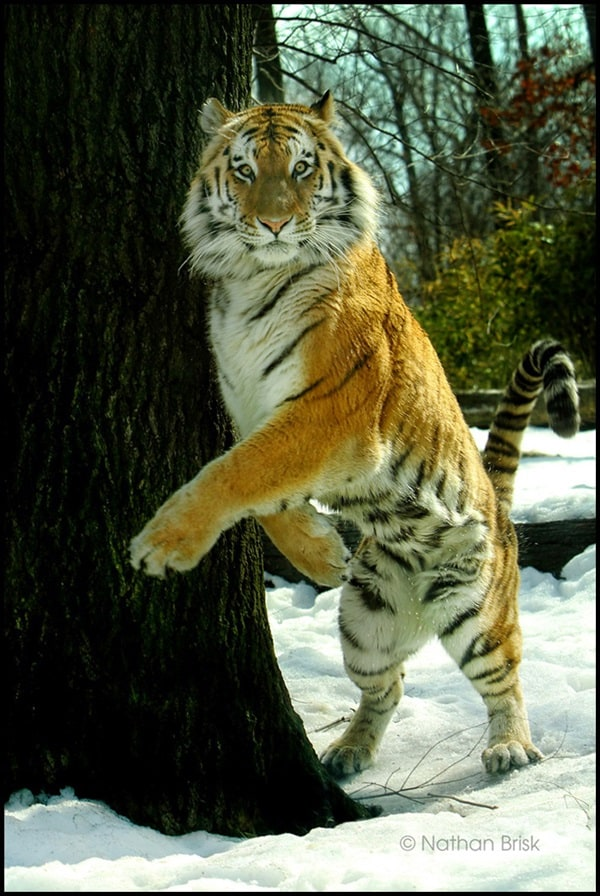 Tiger Photography (45)