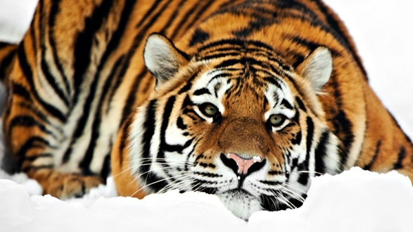 Tiger Photography (9)