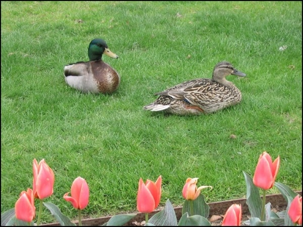 Tips to Keep and Care for your Pet Ducks 1