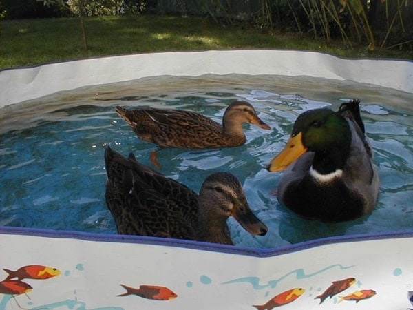 Tips to Keep and Care for your Pet Ducks 2