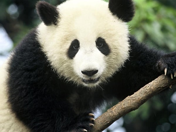 40 Beautiful Pictures of Panda 1