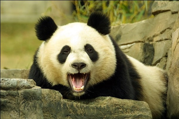 40 Beautiful Pictures of Panda 11