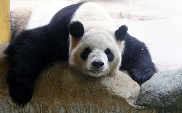 40 Beautiful Pictures of Panda 12
