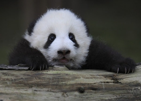 40 Beautiful Pictures of Panda 13