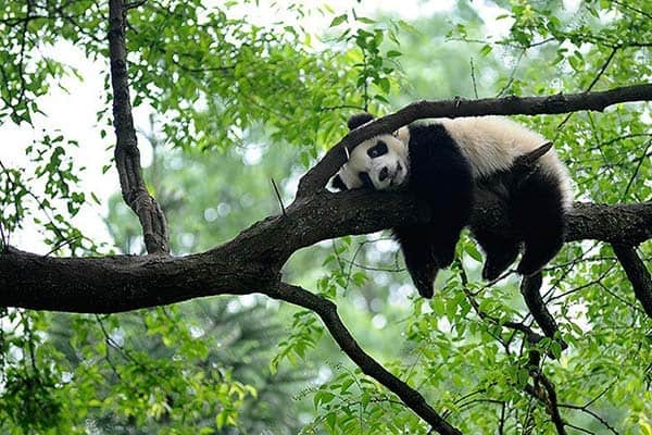 40 Beautiful Pictures of Panda 14