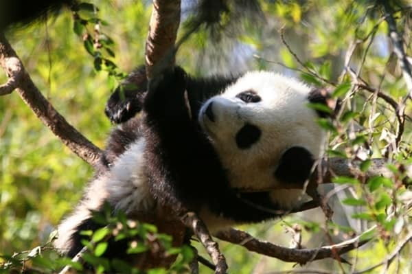 40 Beautiful Pictures of Panda 15