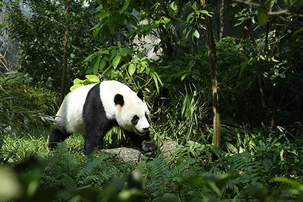 40 Beautiful Pictures of Panda 16