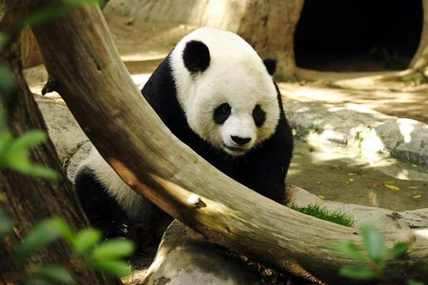 40 Beautiful Pictures of Panda 17