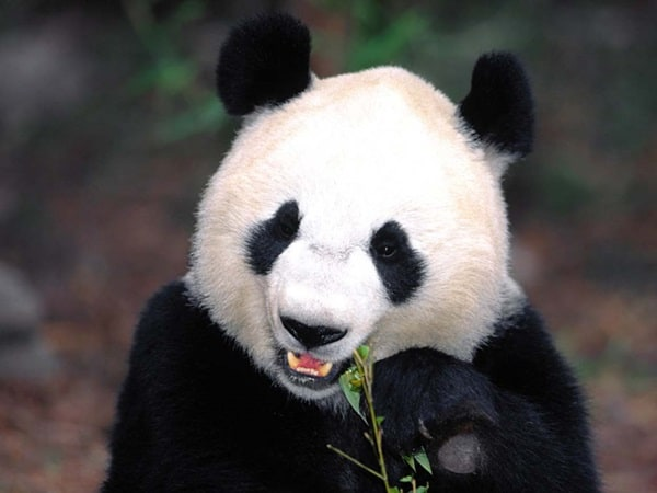 40 Beautiful Pictures of Panda 18