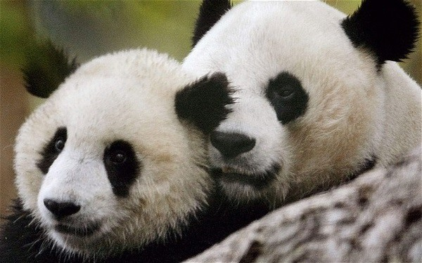 40 Beautiful Pictures of Panda 19