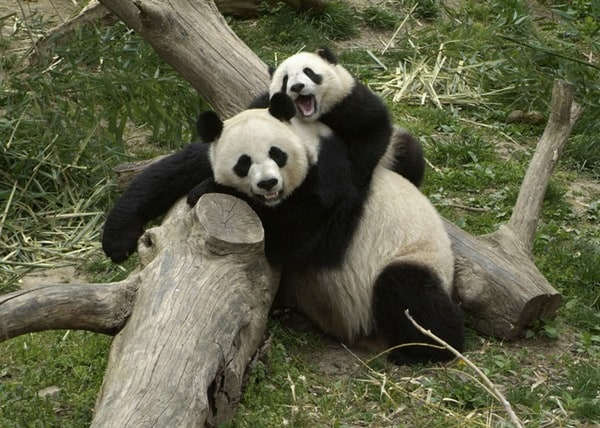 40 Beautiful Pictures of Panda 2
