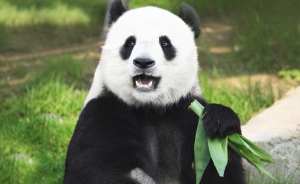 40 Beautiful Pictures of Panda 20