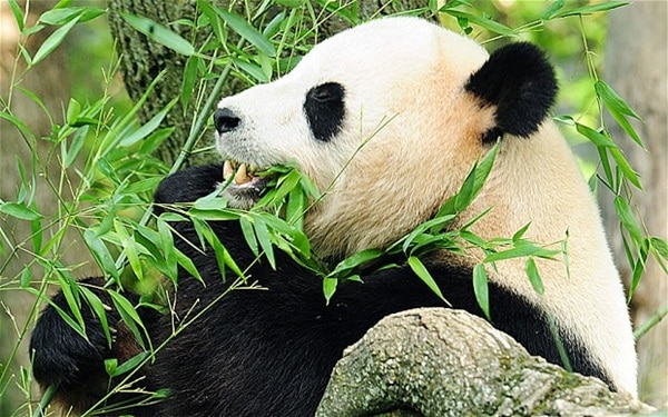 40 Beautiful Pictures of Panda 21