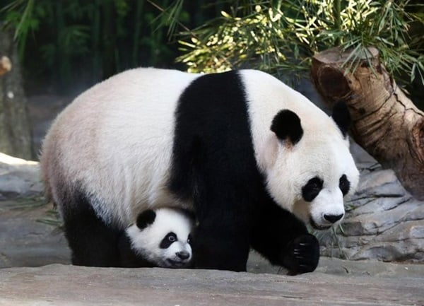 40 Beautiful Pictures of Panda 22