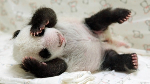 40 Beautiful Pictures of Panda 23
