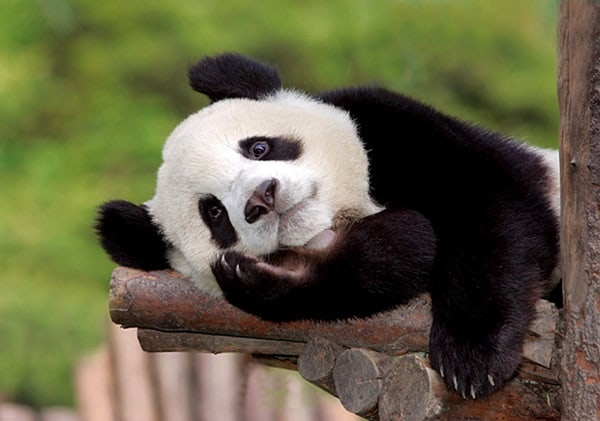 40 Beautiful Pictures of Panda 24