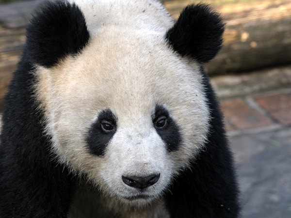 40 Beautiful Pictures of Panda 25
