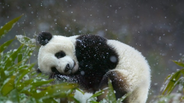 40 Beautiful Pictures of Panda 26