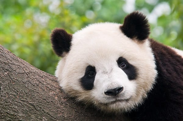 40 Beautiful Pictures of Panda 27