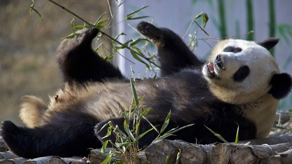 40 Beautiful Pictures of Panda 28