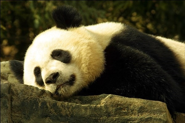 40 Beautiful Pictures of Panda 29