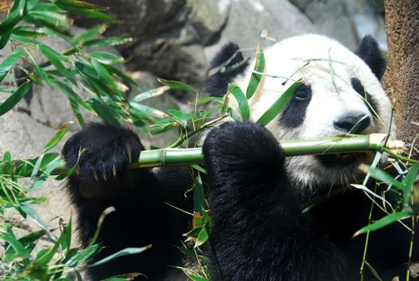 40 Beautiful Pictures of Panda 3