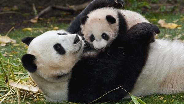 40 Beautiful Pictures of Panda 30