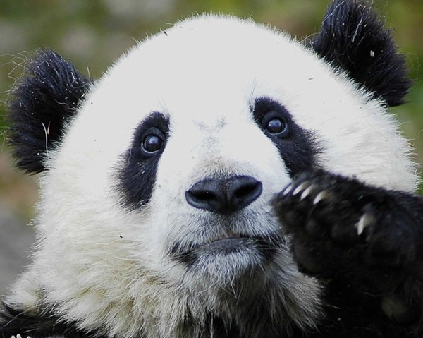 40 Beautiful Pictures of Panda 31