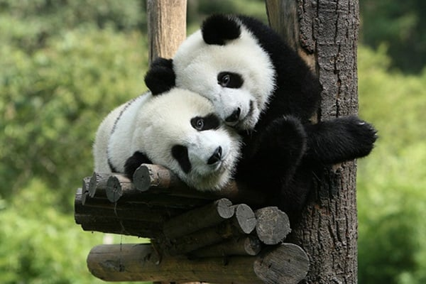 40 Beautiful Pictures of Panda 33