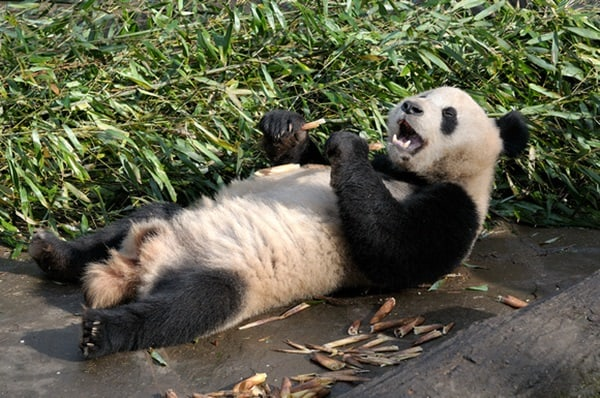 40 Beautiful Pictures of Panda 34