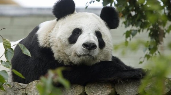 40 Beautiful Pictures of Panda 35