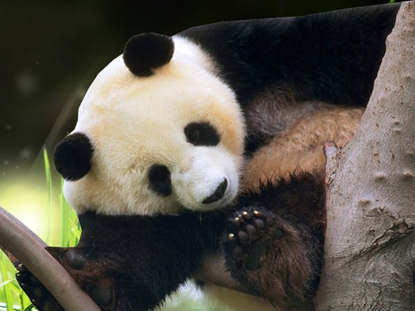 40 Beautiful Pictures of Panda 36