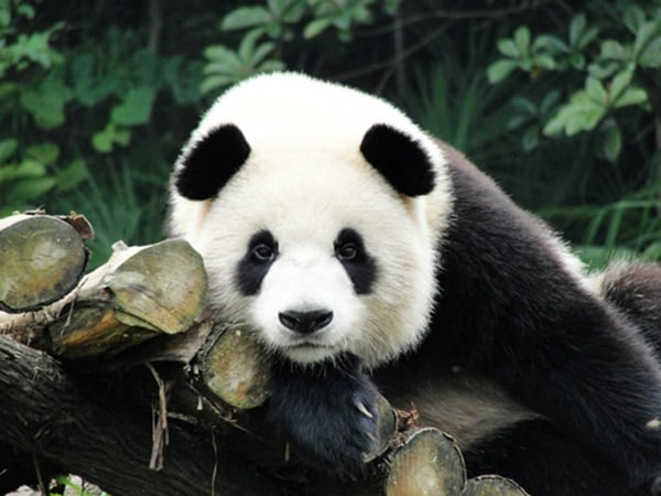 40 Beautiful Pictures of Panda 38