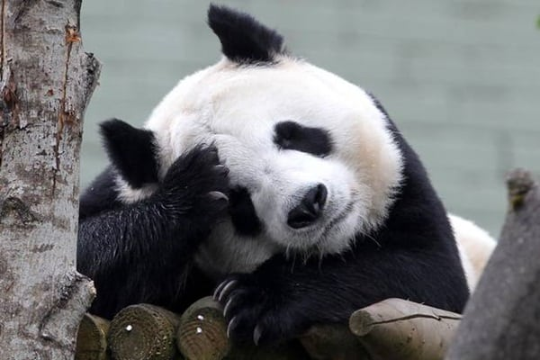 40 Beautiful Pictures of Panda 39