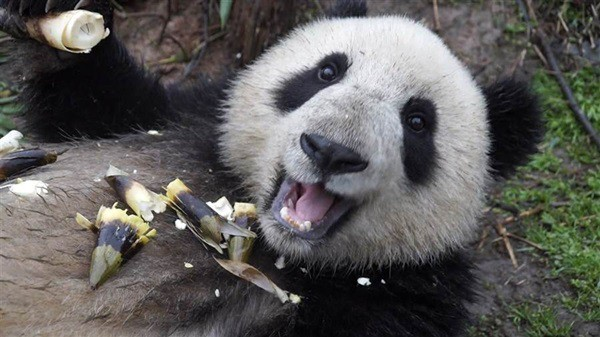 40 Beautiful Pictures of Panda 40