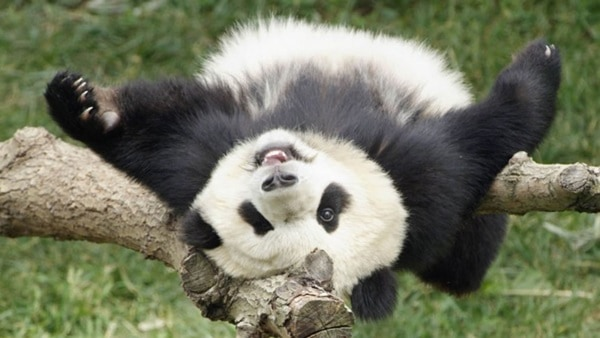 40 Beautiful Pictures of Panda 5