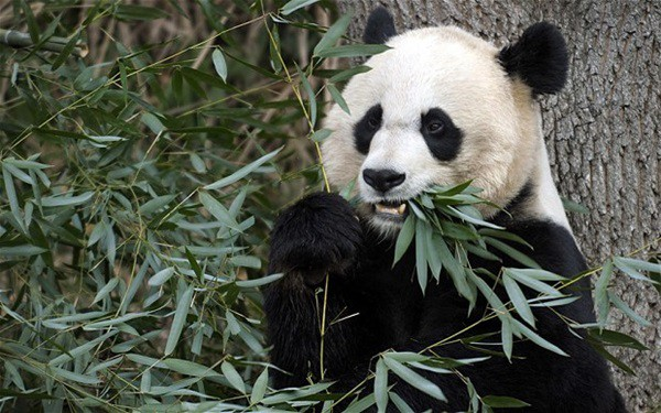 40 Beautiful Pictures of Panda 6
