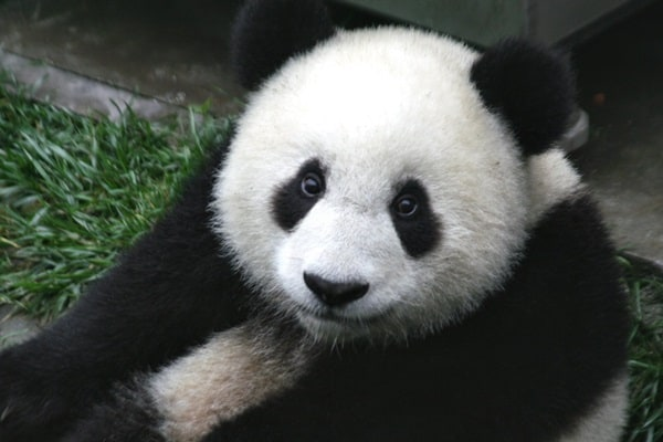 40 Beautiful Pictures of Panda 7