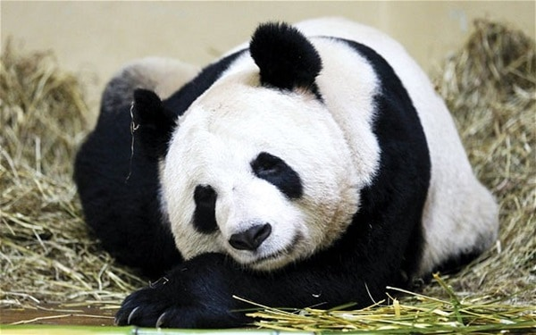 40 Beautiful Pictures of Panda 8