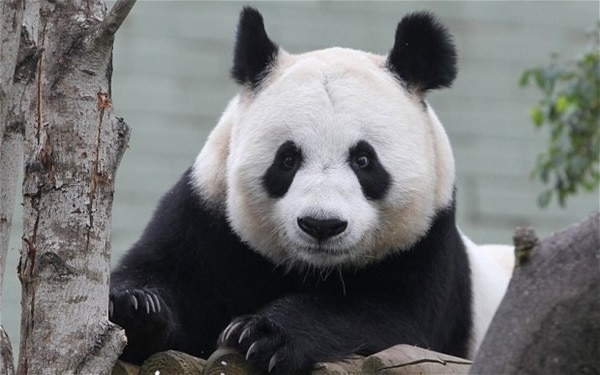 40 Beautiful Pictures of Panda 9