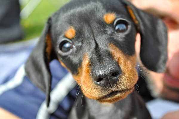 40 Pictures of Cute Puppy Faces 28