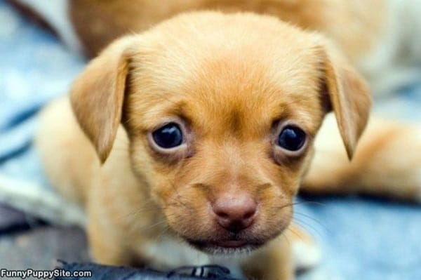 40 Pictures of Cute Puppy Faces 31
